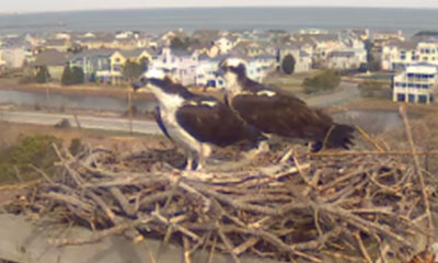 Ospreys in their nest on river