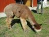 TaCaCo Alpacas